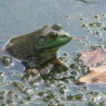 Bullfrog in Slippery Creek