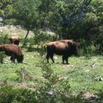 Bison in spring