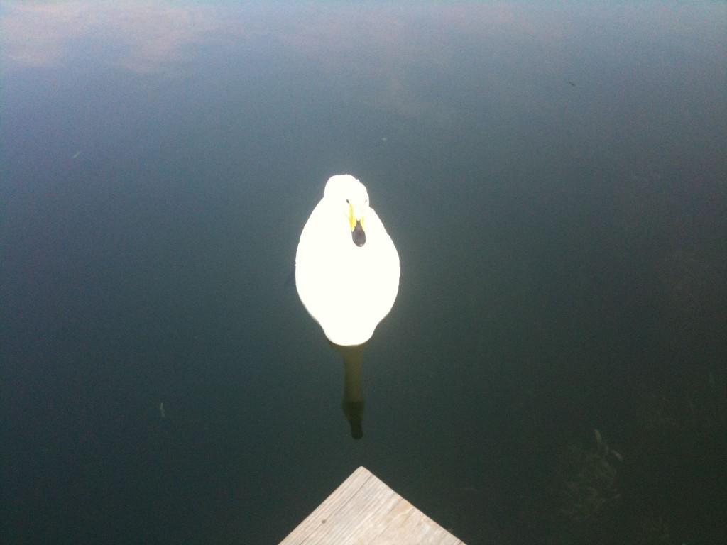 Madroño's resident swan