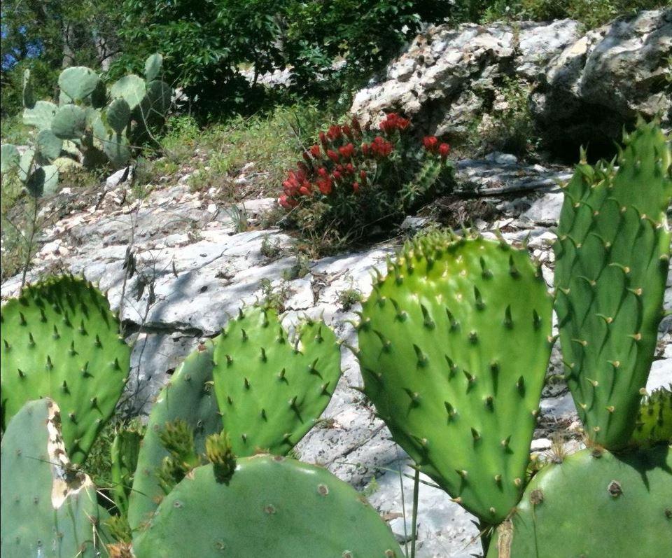 Late spring cactus