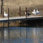 Geese on dock